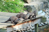Otters wait for feeding — 图库照片