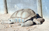 Aldabra giant tortoise — Stock Photo