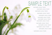 Snowdrop flower — Stock Photo