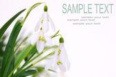 Snowdrop flower — Stock Photo