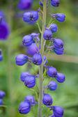 Fiore blu — Foto Stock