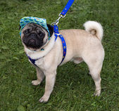 Pug with a cap and blue collar — Stock Photo