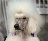 White royal poodle — Stock Photo