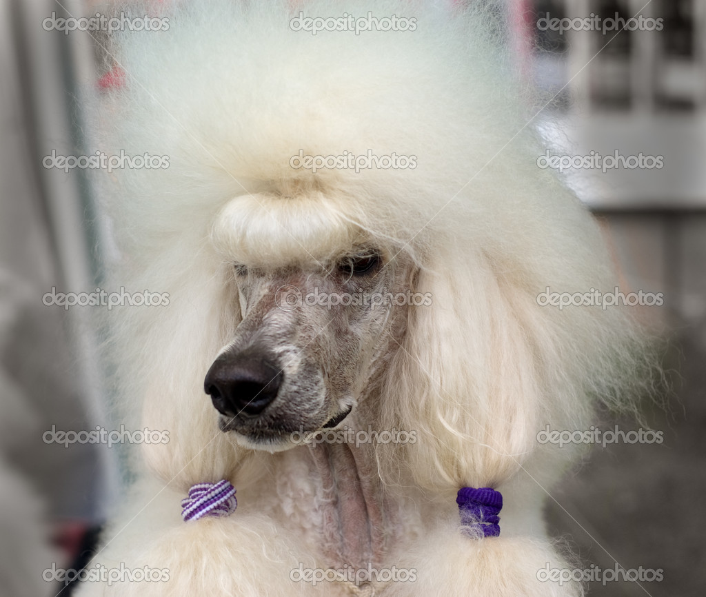 White royal poodle — Stock Photo #5590322