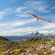Gull over the Norwegian island — Stock Photo #5898584