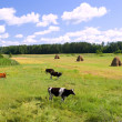 Cows on the green meadow on sunny day — Stock Photo