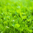 Green grass, shallow depth of field — Stock Photo #5575267