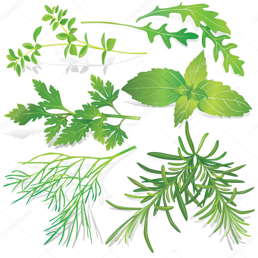 Collection of fresh herbs on white background  Stock Vector #5742772