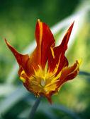 Tulip-wave — Stock Photo
