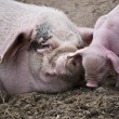 Stock Photo: Sow-and-a-pig
