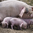 Stock Photo: Sow and piglet