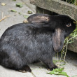 Rabbit black — Stock Photo #6128294