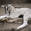 Goat kid strain — Stock Photo