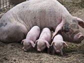 Sow-and-three piglets — Stock Photo