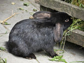 Rabbit black — Stock Photo