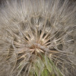 Stock Photo: Dandelion big