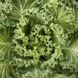Ornamental cabbage green — Stock Photo