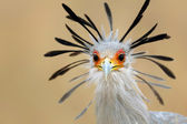 Secretary bird portrait — Stock Photo