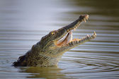 Nile crocodile swollowing fish — Stock Photo