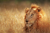 Lion in grassland — Foto de Stock