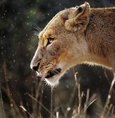 Lioness portrait in the rain — Stock Photo