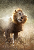 Lion shaking off water — Stock Photo