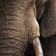 Elephant close-up portrait — Stock Photo