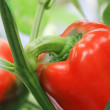 Stock Photo: Red pepper chili