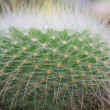Thorn of cactus — Stock Photo