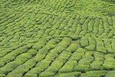 Green tea plant — Stock Photo