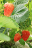 Strawberry plant — Foto Stock