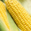 Fresh corn - Stock Photo