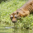 Stock Photo: Asitiger