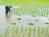 Frau paddy arbeit — Stockfoto