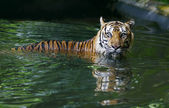 Tiger in pool — Stock Photo