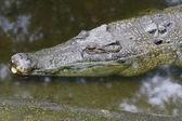 Głowy krokodyla — Zdjęcie stockowe