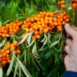 Picking sea-buckthorn berries — Foto Stock