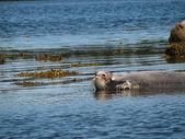 Seal in Arctic Ocean — Stock Photo