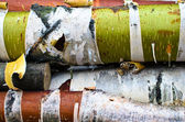 Birch trunks with a colorful bark — Photo