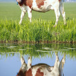 Cow on grazing field — 图库照片