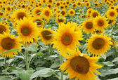 Sun flower field, close up — Stock Photo