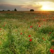 Stock Photo: Poppies field at sunset