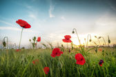 Field of poppies on a sunset — Stock Photo