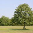 A single tree on the grass — Stock Photo