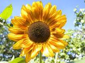 Sunflower outdoor — Stock Photo