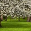 Tree in bloom — Foto de Stock