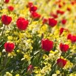 Red tulips — Stock Photo #6321417