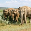 Elephants for a walk — Stock Photo
