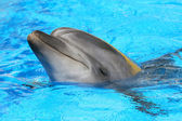 Dolphin swimming in the pool — Stock Photo