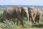 Two elephants for a walk — Stock Photo